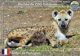 532 Safari De Peaugres, FR - Spotted Hyena (Crocuta Crocuta) - France
