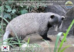 550 Seoul ZOO, KR - Amur Badger (Meles Leucurus Amurensis) - Korea, South