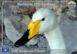 592 ZOO Shqiponja Prizren, XK - Whooper Swan (Cygnus Cygnus) - Kosovo