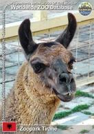 593 Zoopark Tiranë, AL - Lama (Lama Guanicoe F. Glama) - Albania