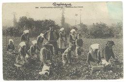 4 CPA Plougastel Daoulas, Cueillette Des Fraises  ( S. 2992 ) - Plougastel-Daoulas