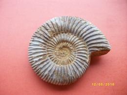 Ammonite Longueur 10 Largeur 9cms - Fossils