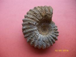 Amonite Longueur 9 Largeur 8cms - Fossiles