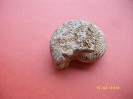 Petite Ammonite Longueur 5,5 Largeur 4,5cms - Fossiles