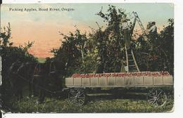 Picking Apples  Hood River  Oregon - Etats-Unis