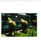 AUTO ET PHOTO SAFARI RUHE ,MALLORCA ESPANA ELEPHANT ET BUS REF 56291 - Elefanti