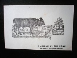 CURIEUX PHENOMENE - Stieren