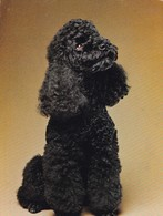 POODLE PUDEL PERRO DOG CHIEN CACHORRO PUPPIES CHIOT. POOP VERLAG HEIDELBERG. CIRCA 1980's.-BLEUP - Chiens