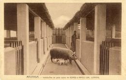 ANGOLA - LUANDA - LOANDA - Maianga - Instalações De Gado Suino  De Gomes & Irmão - Angola