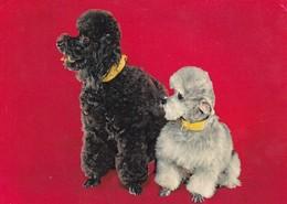 POODLE PERRO DOG CHIEN CACHORRO PUPPIES CHIOT. EDICOLOR. CIRCA 1970's.-BLEUP - Chiens
