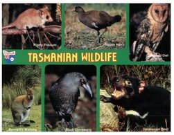 (60) Australia -  (with Stamp At Back Of Card) TAS - Wildlife (owl - Tiger Cat Etc) - Wilderness