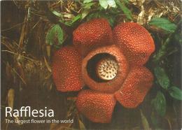 Rafflesia (Borneo)   La Fleur La Plus Grande Du Monde Végétal (un Mètre De Diamètre Et Jusqu'à 10 Kg) - Plantes Toxiques