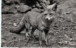 Natur Und Tierpark Goldau - Fuchs - Renard - SZ Schwyz