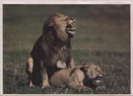 CPM - LION Et PANTHERE (accouplement ?) - Edition Panthra Ltd - Kenya