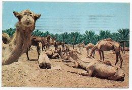 UNITED ARAB EMIRATES - CAMELS AL-AIN / ABU DHABI 1974 - United Arab Emirates