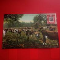 A NATIVE CATTLE FARM VACHES - Panama