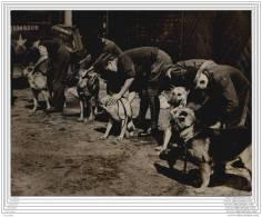 Chiens Bergers De Police Allemands Qui Furent L Effroi Des Deportes - New York Times Photo 20/06/1945 - Krieg, Militär