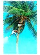 #313   Coconut Palm,  Picking Coconut - TROPICAL CARIBBEAN  Islands - US Postcard - Postcards