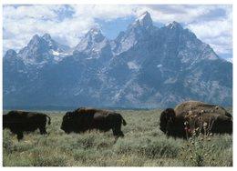 (31) USA - Bisons - Stieren