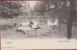 Antwerpen Dierentuin Ooievaars Ooievaar Zoo Jardin Zoologique Tiergarten Anvers Les Cigognes Cigogne Stork Storch - Antwerpen