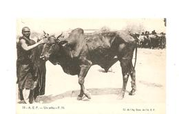 CPA AFRIQUE A.E.F. Un Zébu - Cartes Postales