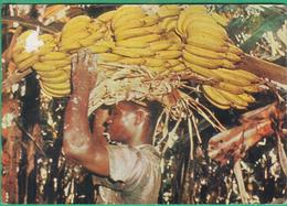 Antilles - Escale à Saint Vincent - Récolte De Bananes - Saint-Vincent-et-les Grenadines