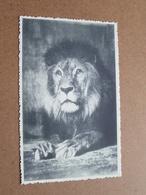 ZOO Dierentuin - LION / LEEUW ( Photo ZOO ) Anno 19?? ( Zie Foto's ) ! - Antwerpen