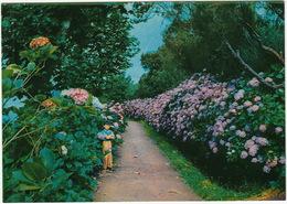 Hortensias Nas Queimadas  -  Madeira - Madeira