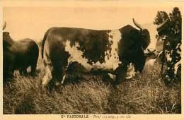 150618A - CAMEROUN Cie Pastorale - Boeuf De 3 Ans 1/2 , 1/4 Sang - Bovin Animal - Cameroun