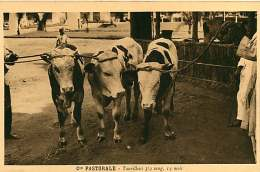 150618A - CAMEROUN Cie Pastorale - Taurillons 3/4 Sang 14 Mois - Bovin Animal - Cameroun