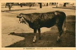 150618A - CAMEROUN Cie Pastorale - Génisse 3/4 Sang 11 Mois - Bovin Animal - Cameroun