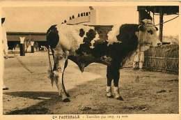 150618A - CAMEROUN Cie Pastorale - Taureau 3/4 Sang 14 Mois - Bovin Animal - Cameroun