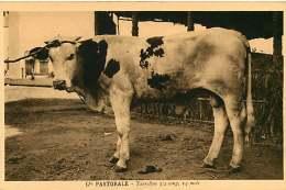 150618A - CAMEROUN Cie Pastorale - Taurillon 3/4 Sang 14 Mois - Bovin Animal - Cameroun