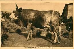 150618A - CAMEROUN Cie Pastorale - Vache De 5 Ans 1/2 Sang - Bovin Animal - Cameroon