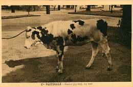150618A - CAMEROUN Cie Pastorale - Génisse 3/4 Sang 14 Mois - Bovin Animal - Cameroun