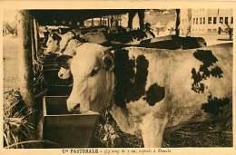 150618A - CAMEROUN Cie Pastorale - 3/4 Sang De 1 An Exposés à DOUALA - Bovin Animal - Cameroun