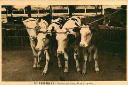 150618A - CAMEROUN Cie Pastorale - Génisses 3/4 Sang De 11 à 14 Mois - Bovin Animal - Cameroon