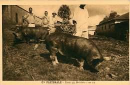 150618A - CAMEROUN Cie Pastorale - Truie 3/4 Berkshire 1 An 1/2 - Porc Animal Cochon - Cameroun