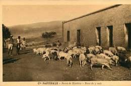 150618A - CAMEROUN Cie Pastorale - Ferme De DJUTTITSA Porcs De 3 Mois - Cochon - Cameroun