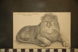 CP, Animaux Et Faune, 75, Paris Jardin Des Plantes Lion D'Afrique N°237 Bis Edition L Moreau - Lions