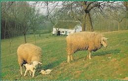 ! - Belgique - Brabant Flamand - Coin Paisible - Une Vieille Ferme Et Des Moutons Et Agneaux - Belgique