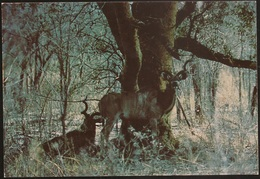 Postal Moçambique - Gorongosa - Olongo - Greater Kudu - African Wildlife Series - CPA - Postcard - Mozambique