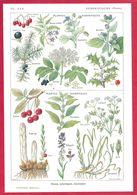 Plantes Sudorifiques, Diuritiques, Illustration Maurice Desssertenne, Larousse Médical 1934 - Other