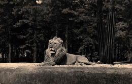 75 - PARIS - Parc Zoologique Du Bois De Vincennes - Un Lion Sur Son Plateau - Lions