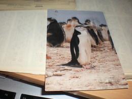 Chinstrap Penguin - Falkland