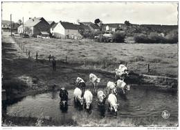 CHANLY ..-- Vaches S' Abreuvant Dans La LESSE . - Wellin