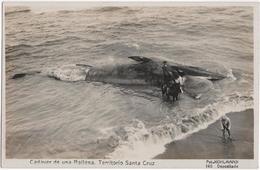 Cadaver De Una Ballena - Territorio Santa Cruz - & Whale - Argentine