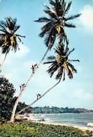Afrique En Couleurs La Cueillette Des Noix De Coco  (HOA-QUI   N°3465) *PRIX FIXE - Cartes Postales