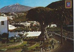 Icod De Los Vinos. (Tenerife)  -  El Drago Milenario.  Spain.  A-584 - Tenerife