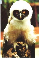 BABY SPECTACLED OWL, ANDOVER,  HAMPSHIRE, ENGLAND. UNUSED POSTCARD Ap3 - Birds